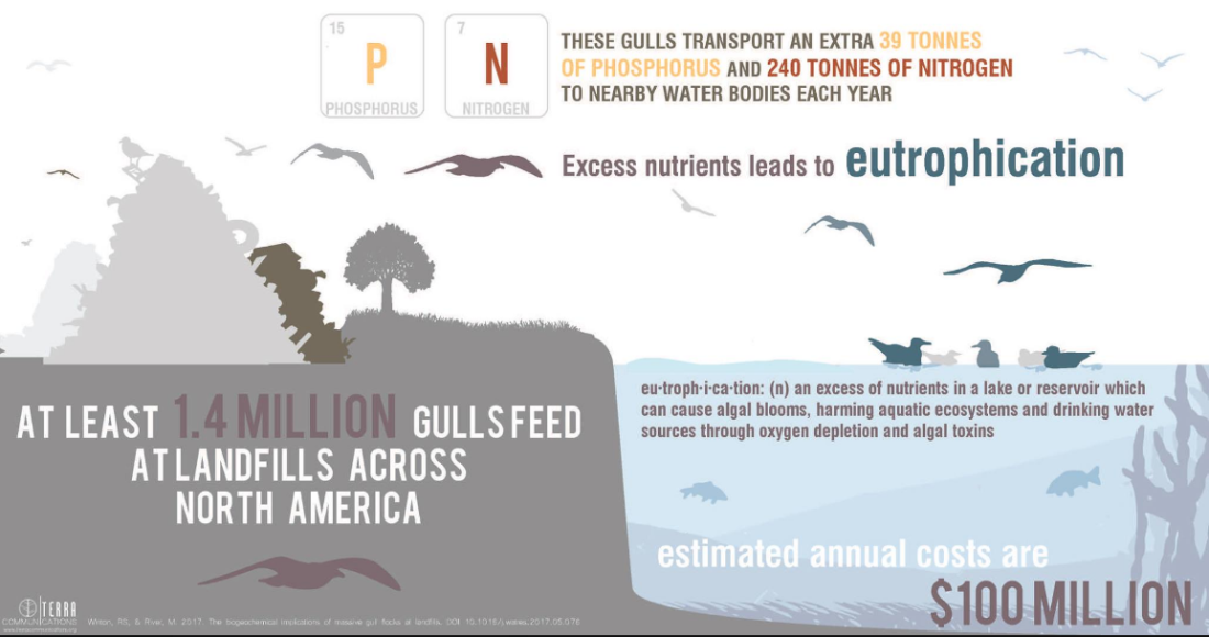 gull, infographic, nature